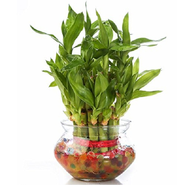SMZ Brandlines Two Layer Lucky Bamboo Plant